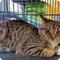 Adopt A Pet :: Tiger - Queens, NY