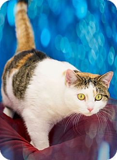 Domestic Shorthair Cat for adoption in Columbus, Indiana - Cassidy