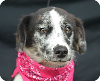 Catahoula Leopard Dog Mix Puppy for adoption in Plano, Texas - Theodore