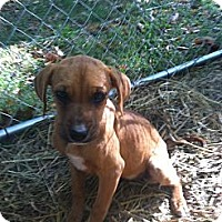 Adopt A Pet :: Puppies - Dandridge, TN