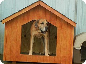 Great Dane Dog for adoption in Anniston, Alabama - RD Sam