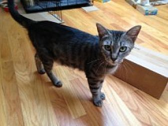 Domestic Shorthair Cat for adoption in Delmont, Pennsylvania - Oliver's Mom