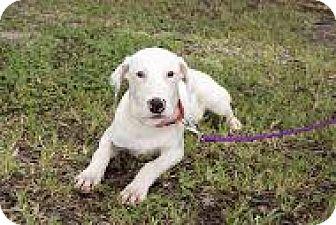 Hound (Unknown Type) Mix Dog for adoption in Bradenton, Florida - Paddington