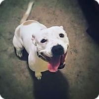 English Bulldog/Staffordshire Bull Terrier Mix Dog for adoption in Eden Prairie, Minnesota - Courtney