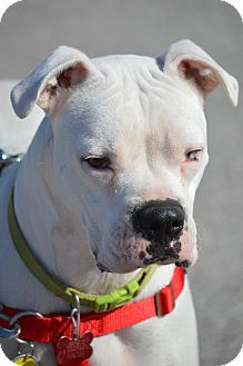 Boxer Dog for adoption in Wimberley, Texas - Powder