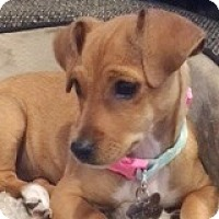 Adopt A Pet :: Tabby Tee - Houston, TX