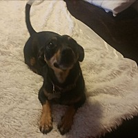 Manchester Terrier/Chihuahua Mix Dog for adoption in PHOENIX, Arizona - Marley