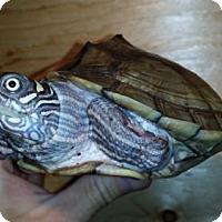 Adopt A Pet :: Rex - Markham, ON