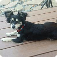 Adopt A Pet :: Bugsy - El Segundo, CA