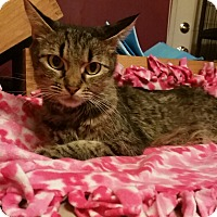 Domestic Shorthair Cat for adoption in Rockford, Illinois - Buttons