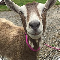 Adopt A Pet :: Farrah - Maple Valley, WA