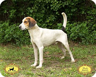 Coonhound (Unknown Type) Mix Dog for adoption in Jacksonville, Florida - Shady