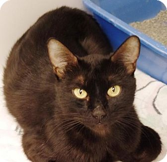 Domestic Shorthair Cat for adoption in Crown Point, Indiana - Magic