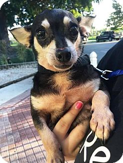 Chihuahua Mix Dog for adoption in Boca Raton, Florida - Dora
