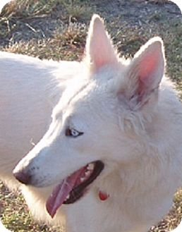 German Shepherd Dog/Siberian Husky Mix Dog for adoption in Dripping Springs, Texas - Luna