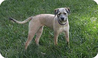 Wirehaired Fox Terrier Mix Dog for adoption in Dayton, Ohio - Cricket