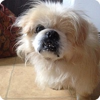 Pekingese Dog for adoption in Centreville, Virginia - Oliver