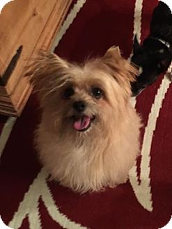 Yorkie, Yorkshire Terrier/Silky Terrier Mix Dog for adoption in Las Vegas, Nevada - Taj