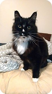 Domestic Longhair Cat for adoption in Vancouver, British Columbia - Wylee