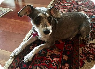 Schnauzer (Standard)/Poodle (Standard) Mix Dog for adoption in West Palm Beach, Florida - Miss Heidi