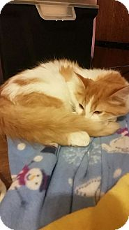 Domestic Longhair Cat for adoption in Rockford, Illinois - Ruth