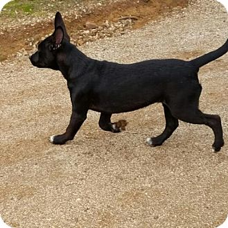 Doberman Pinscher Mix Puppy for adoption in Lakeport, California - Zelda's Courage