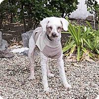 Adopt A Pet :: Sophie - Agoura, CA