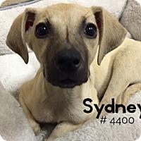 Adopt A Pet :: Sydney - Alvin, TX