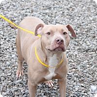 Adopt A Pet :: Princess Pepper Potts - Greensboro, NC