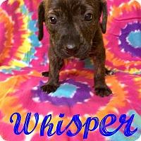 Adopt A Pet :: Whisper - Dickson, TN