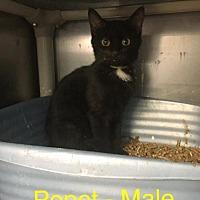Domestic Shorthair Kitten for adoption in Waycross, Georgia - Poppet