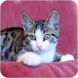 Domestic Shorthair Kitten for adoption in Ft. Lauderdale, Florida - Cary (Grant)