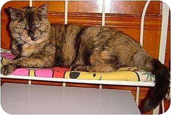 Domestic Shorthair Cat for adoption in Sherman Oaks, California - Anita