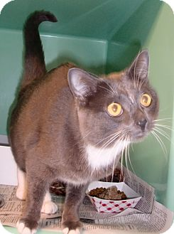 Domestic Shorthair Cat for adoption in Chesapeake, Virginia - Neko