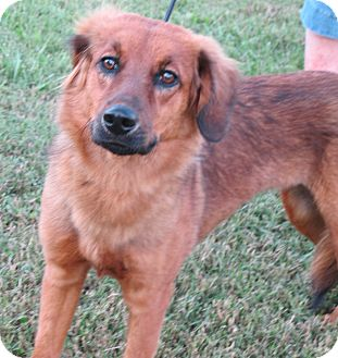 Sheltie, Shetland Sheepdog/Retriever (Unknown Type) Mix Dog for adoption in Brattleboro, Vermont - Autumn