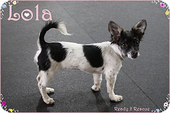 Dachshund/Chihuahua Mix Puppy for adoption in Rockwall, Texas - Lola