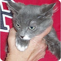 Adopt A Pet :: Kitten (gray) - Westfield, MA