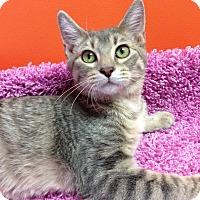 Adopt A Pet :: Munchkin - Topeka, KS