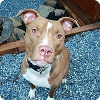 Adopt A Pet :: Guinness - Elizabethtown, PA