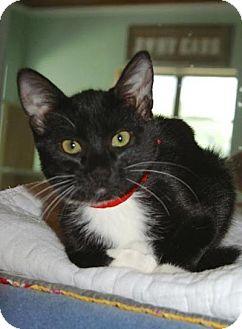 American Shorthair Kitten for adoption in Englewood, Florida - Victoria