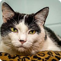 Adopt A Pet :: Gavin - House Springs, MO