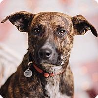 Adopt A Pet :: Archie - Portland, OR