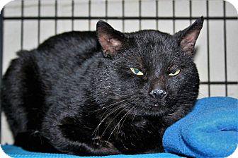 Domestic Shorthair Cat for adoption in Brigham City, Utah - Confetti