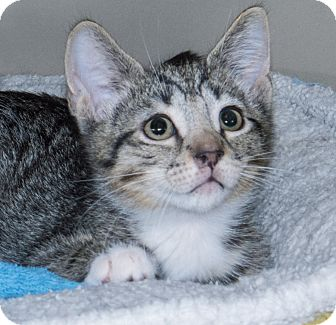 Domestic Shorthair Kitten for adoption in Elmwood Park, New Jersey - Alvin