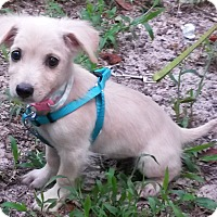 Adopt A Pet :: Olivia - Leming, TX
