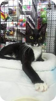 Domestic Shorthair Cat for adoption in Ridgewood, New York - TRIXIE