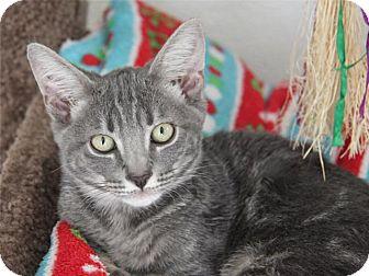 Domestic Shorthair Kitten for adoption in Hawthorne, California - Apollo