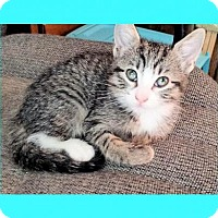 Adopt A Pet :: Kitten - Mallory - Euless, TX