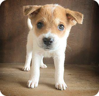 Shepherd (Unknown Type) Mix Puppy for adoption in Fredericksburg, Texas - Celeste