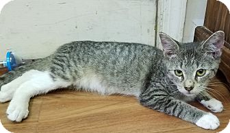 Domestic Shorthair Kitten for adoption in Trevose, Pennsylvania - Suduko